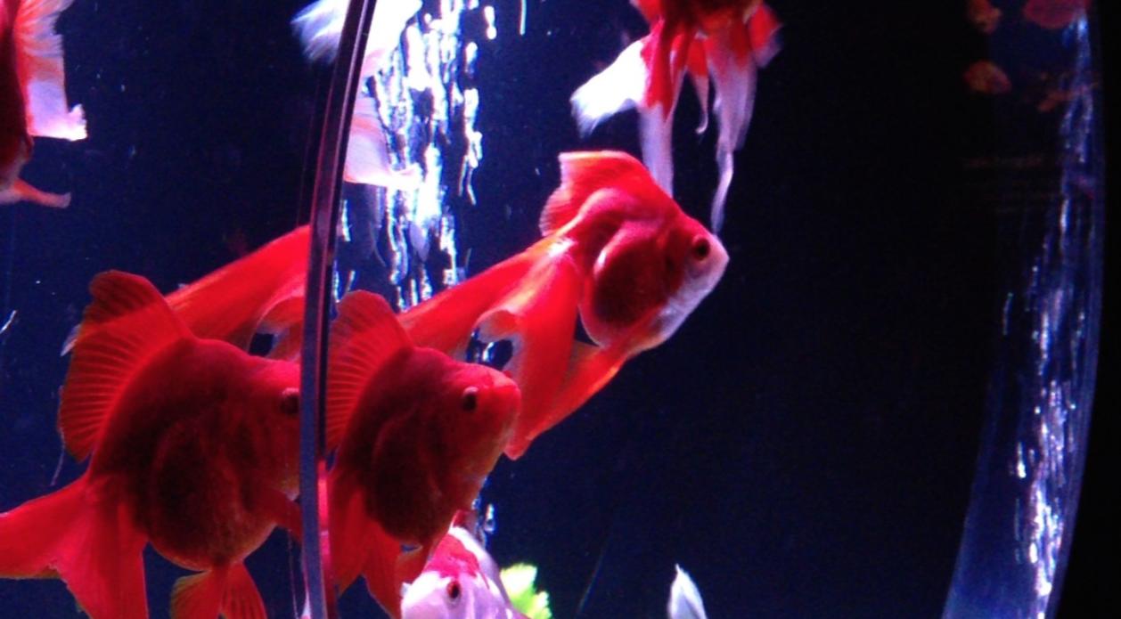 アートアクアリウム 2014 〜江戸・金魚の涼〜&ナイトアクアリウム に行ってきた
